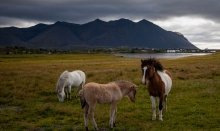 Icelandic horses are part of Icelandic life style
